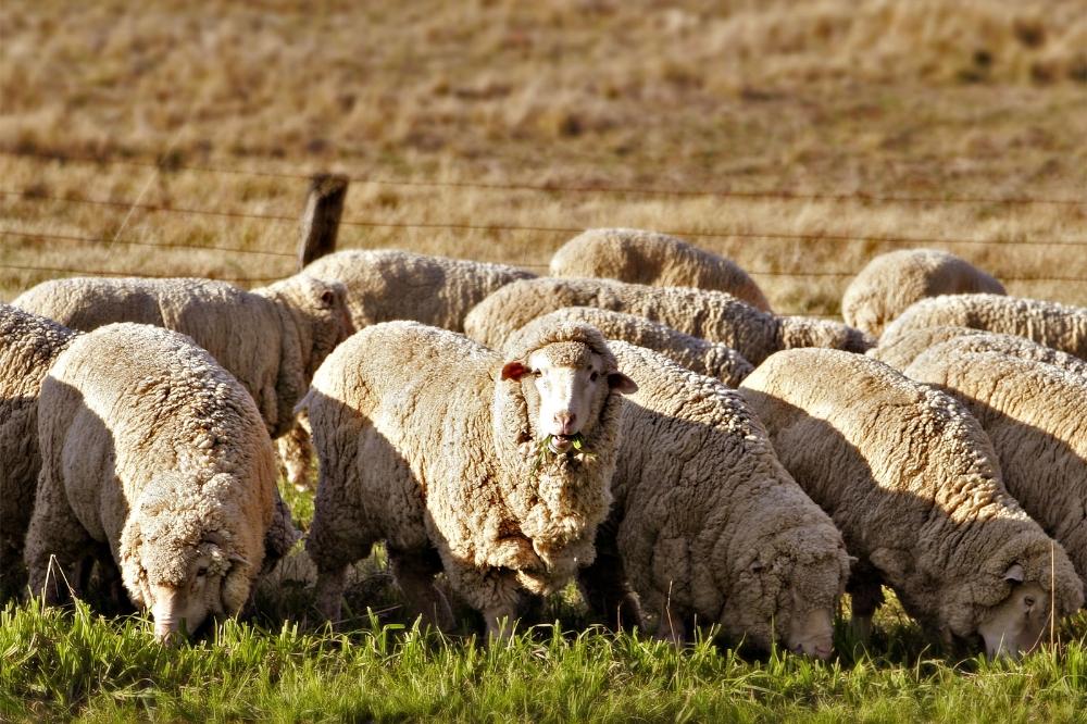 Esrar Yiyen Koyunlar Kasabayı Altüst Etti